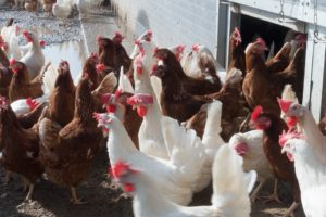 chickens for poultry farming